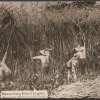 Harvesting Wheat in Iowa